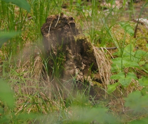 Owl stump
