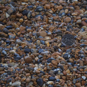 Shingle with turnstone